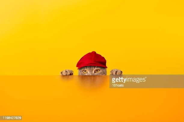 big-eyed naughty obese cat behind the desk with red hat. grey color british sort hair cat. - cat with red hat stock pictures, royalty-free photos & images