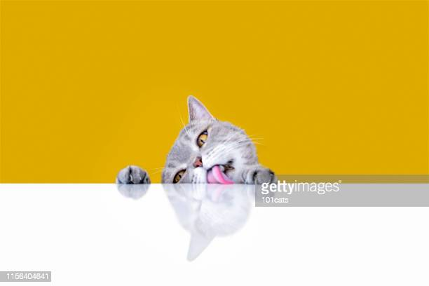 big-eyed naughty obese cat licking the table - feline stock pictures, royalty-free photos & images