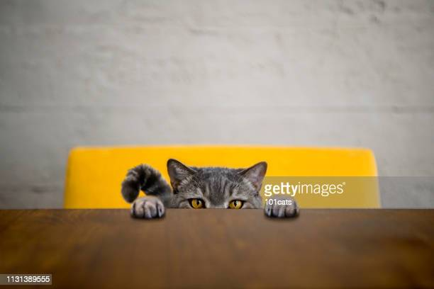 big-eyed naughty obese cat looking at the target. british sort hair cat - pampered pets stock pictures, royalty-free photos & images