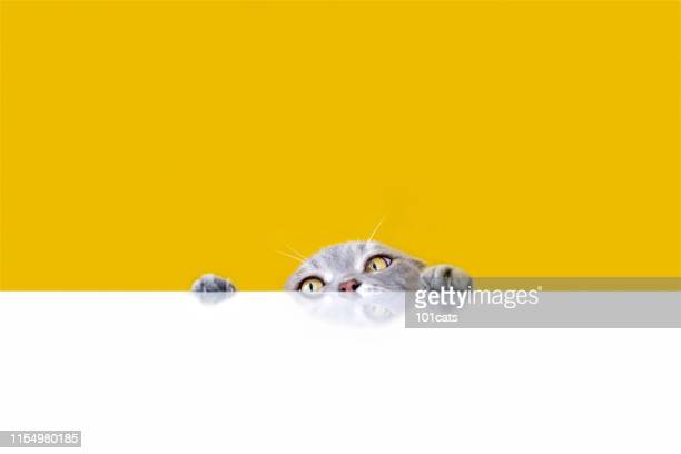 big-eyed naughty obese cat looking at the target. british sort hair cat. - funny cats stock pictures, royalty-free photos & images