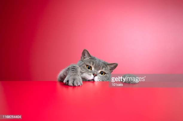 big-eyed naughty obese cat looking at the target. british sort hair cat - fat cat stock photos and pictures