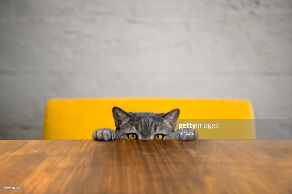 Big-eyed naughty obese cat looking at the target. British sort hair cat. : Stock Photo