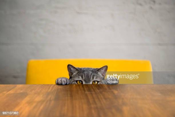 big-eyed naughty obese cat looking at the target. british sort hair cat. - big eyes stock photos and pictures