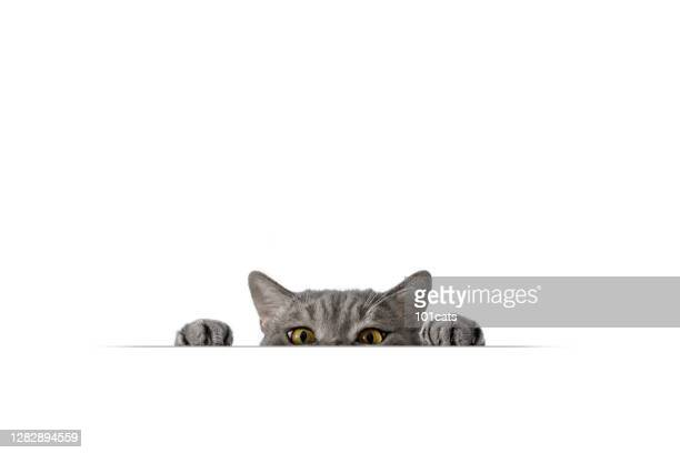 big-eyed naughty obese cat looking at the target. - british shorthair cat stock pictures, royalty-free photos & images