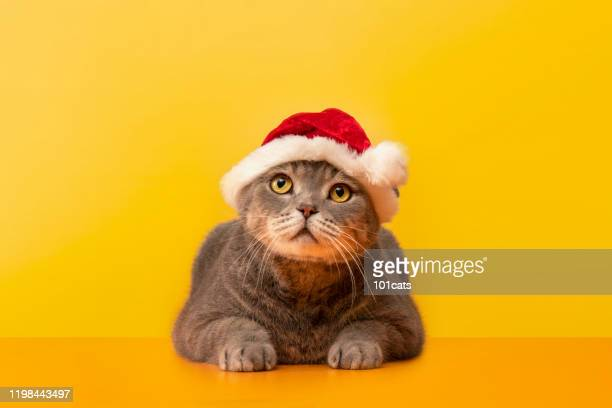 big-eyed naughty obese cat on the desk.grey color british sort hair cat. - cat with red hat stock pictures, royalty-free photos & images