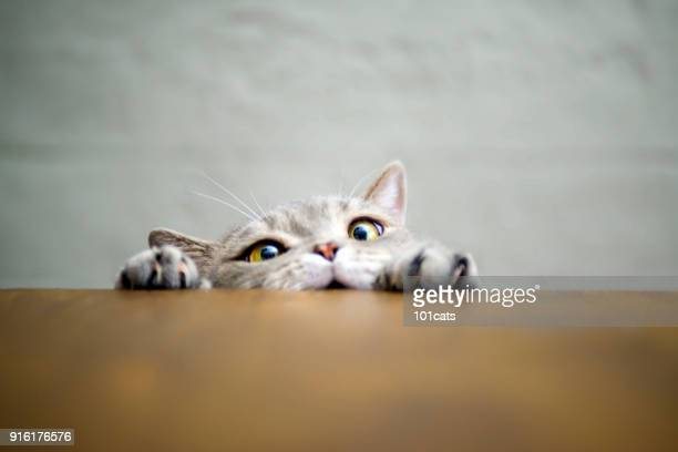 Big-eyed naughty obese cat showing paws on wooden table
