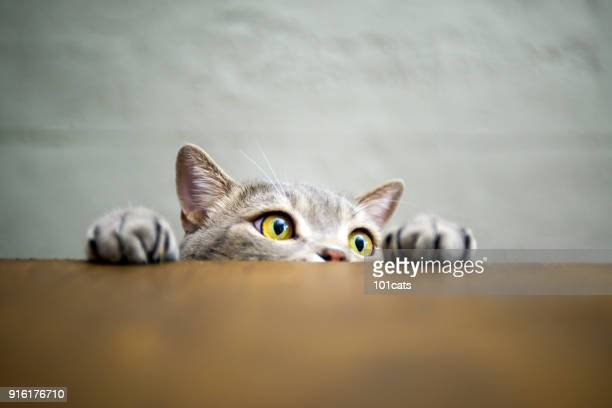 big-eyed naughty obese cat showing paws on wooden table - domestic cat stock pictures, royalty-free photos & images