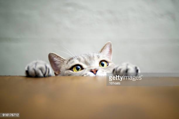 big-eyed naughty obese cat showing paws on wooden table - gatto soriano foto e immagini stock