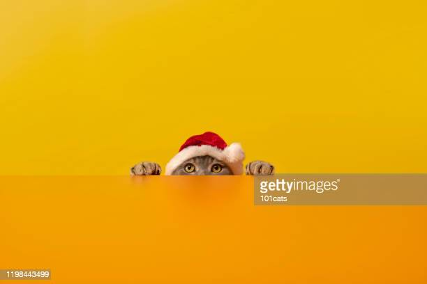 big-eyed santa clauses cat behind the desk.grey color british sort hair cat. - cat with red hat stock pictures, royalty-free photos & images