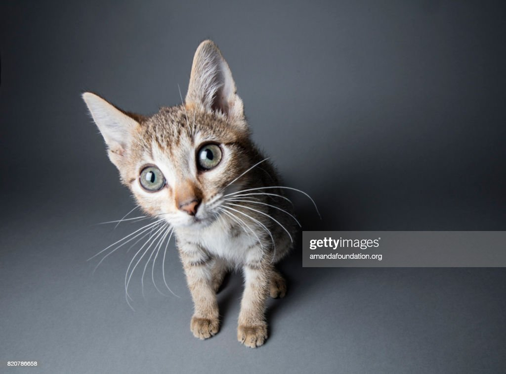 Big-eyed Tabby Kitten - The Amanda Collection : Stock Photo