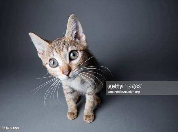big-eyed tabby kitten - the amanda collection - amandafoundationcollection stock pictures, royalty-free photos & images