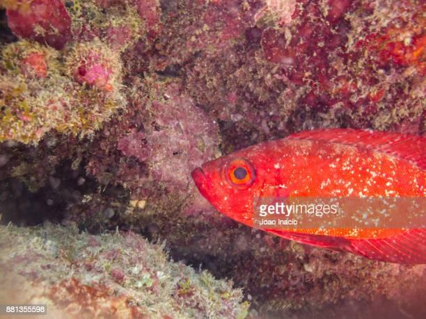 Bigeyes fish, Coral Garden, Saxon Reef, Australia