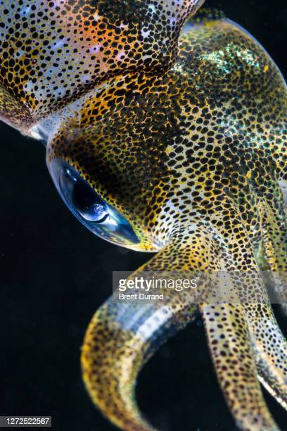 bigfin reef squid eye - sepioteuthis lessoniana - animal eye stock pictures, royalty-free photos & images