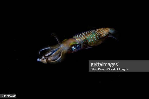 A bigfin reef squid off the coast of Komodo Island in Komodo National Park.