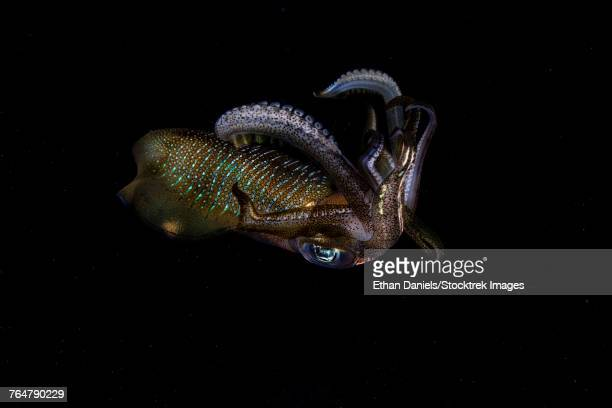 a bigfin reef squid off the coast of komodo island in komodo national park. - mollusca stock photos and pictures