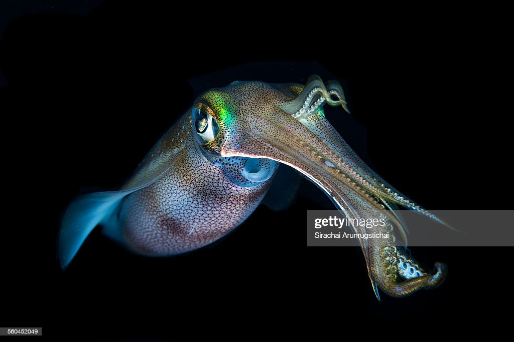 A bigfin reef squid (Sepioteuthis lessoniana) hovers in midwater during night dive, Puerto Galera, Philippines.