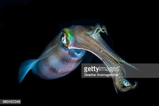 Bigfin Reef Squid (Sepioteuthis lessoniana)