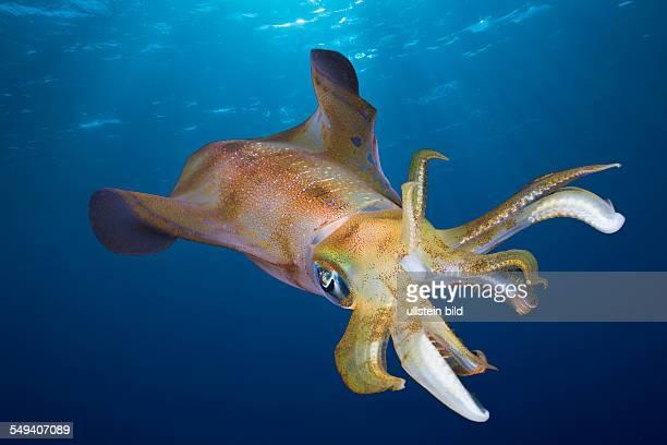 Bigfin Reef Squid Sepioteuthis lessoniana Daedalus Reef Red Sea Egypt
