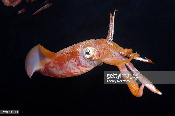 Bigfin reef squid -Sepioteuthis lessoniana-, Red Sea, Egypt, Africa
