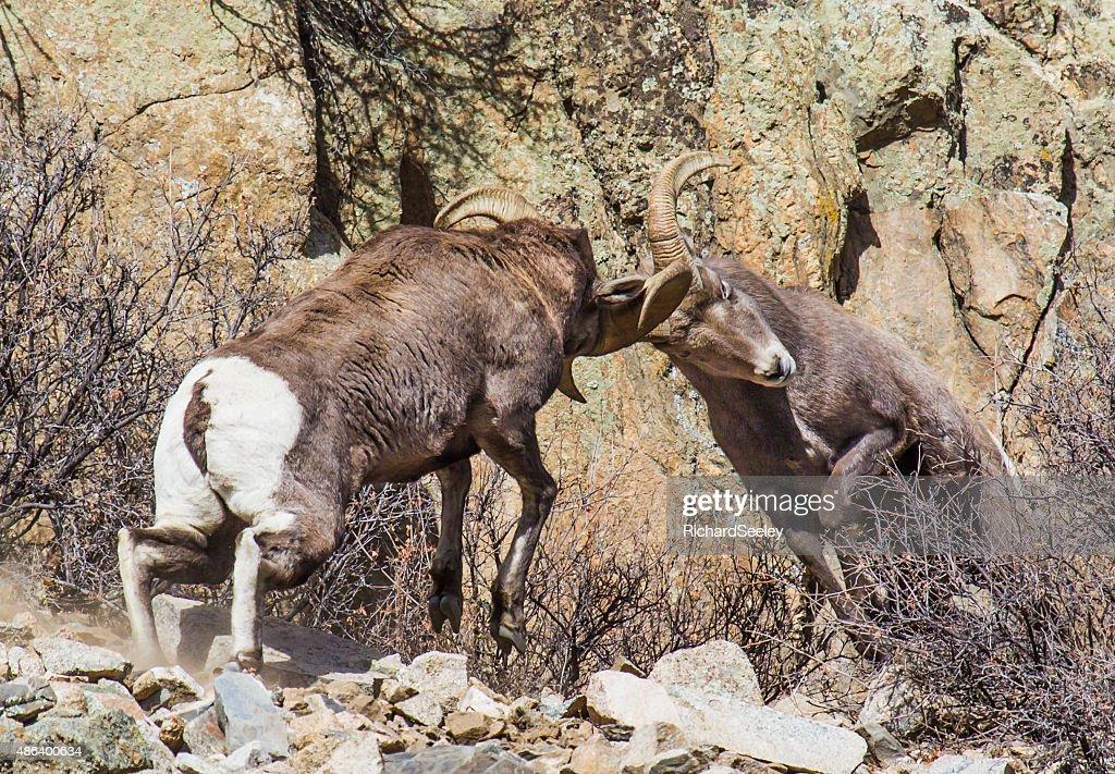 Bighorn Headache : Stock Photo