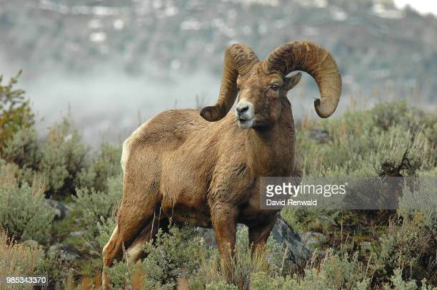 bighorn - file:bighorn,_grand_canyon.jpg stock pictures, royalty-free photos & images