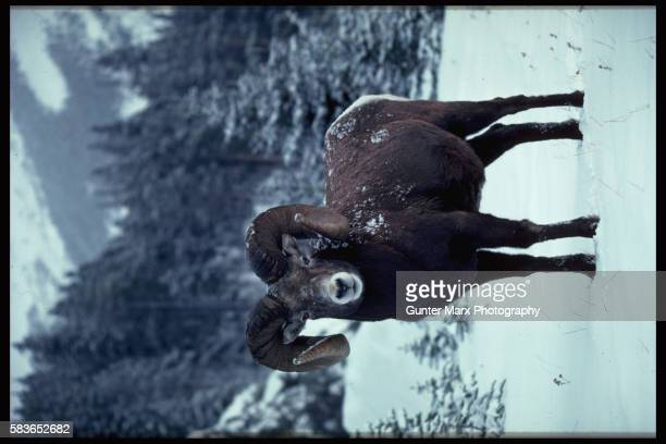Bighorn Ram in Snow, Canadian Rockies