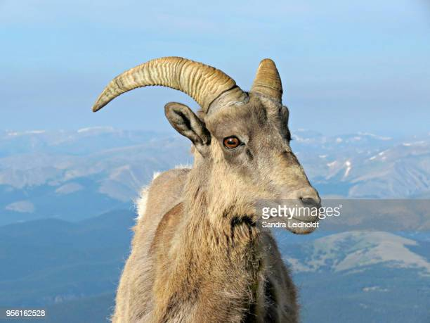 bighorn ram sheep in colorado rocky mountains - file:bighorn,_grand_canyon.jpg stock pictures, royalty-free photos & images