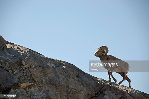 bighorn ram sheep - file:bighorn,_grand_canyon.jpg stock pictures, royalty-free photos & images