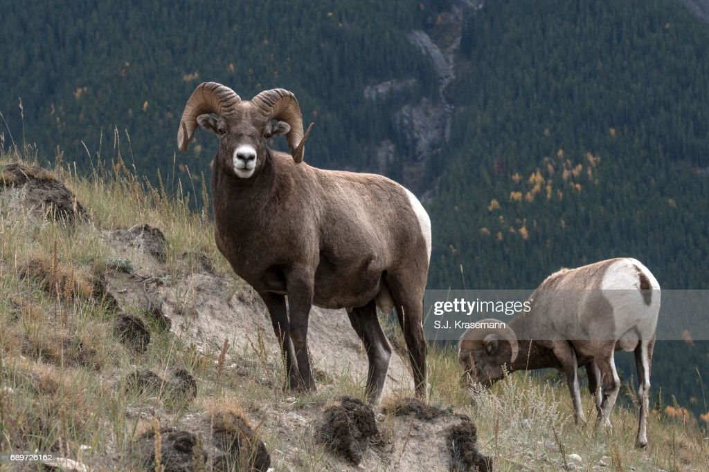 Bighorn rams on mountainside in Jasper National Park, Alberta, Canada. : Stock Photo
