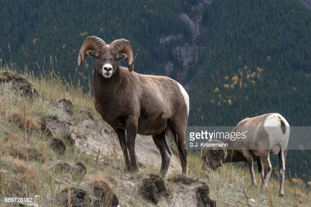 bighorn rams on mountainside in jasper national park, alberta, canada. - ram animal stock photos and pictures