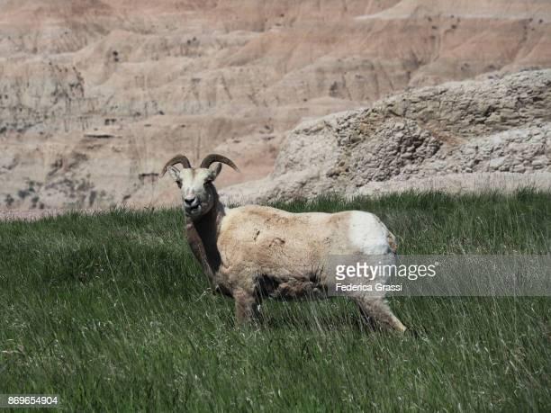bighorn sheep at pinnacles overlook, badlands national park - un animal fotografías e imágenes de stock