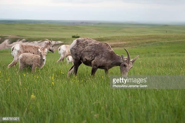 Bighorn sheep ewes and lambs grazing in Badlands National Park, South Dakota, USA