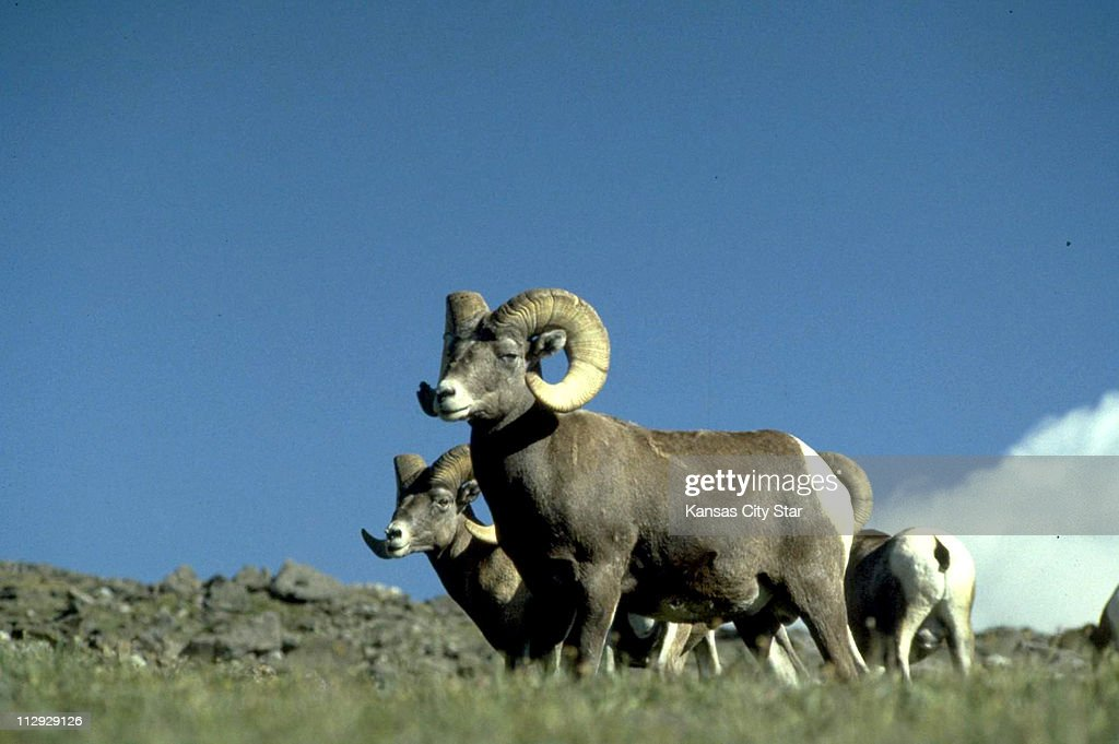 Bighorn Sheep graze at the Rocky Mountain National Park in C : News Photo
