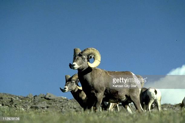 Bighorn Sheep graze at the Rocky Mountain National Park in Colorado