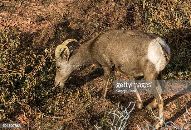 A bighorn sheep grazes for grass in a ravine at Valley of Fire Nevada's first and oldest State Park on December 8 2015 near Las Vegas Nevada The...
