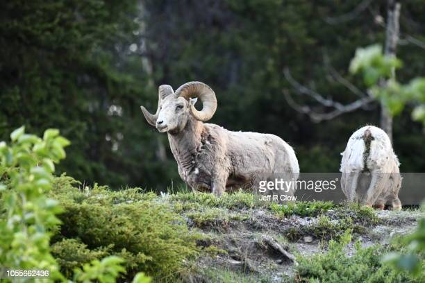 bighorn sheep in alberta - canadian rockies stock pictures, royalty-free photos & images