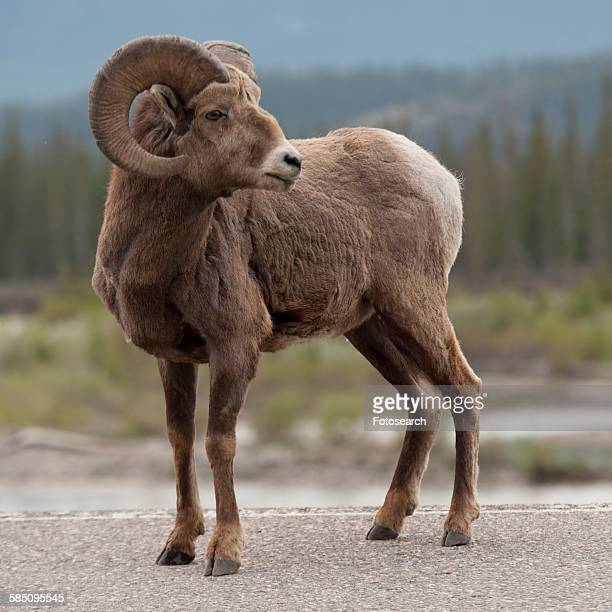 bighorn sheep in jasper national park - file:bighorn,_grand_canyon.jpg stock pictures, royalty-free photos & images
