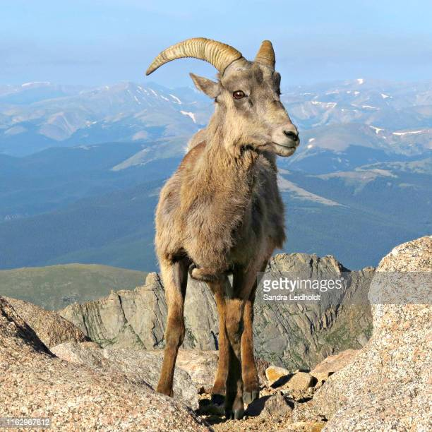 bighorn sheep in the colorado rocky mountains - mount evans - colorado stock pictures, royalty-free photos & images