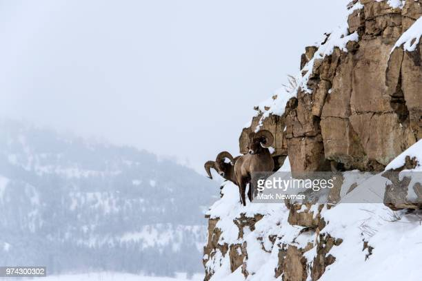 bighorn sheep in winter - file:bighorn,_grand_canyon.jpg stock pictures, royalty-free photos & images