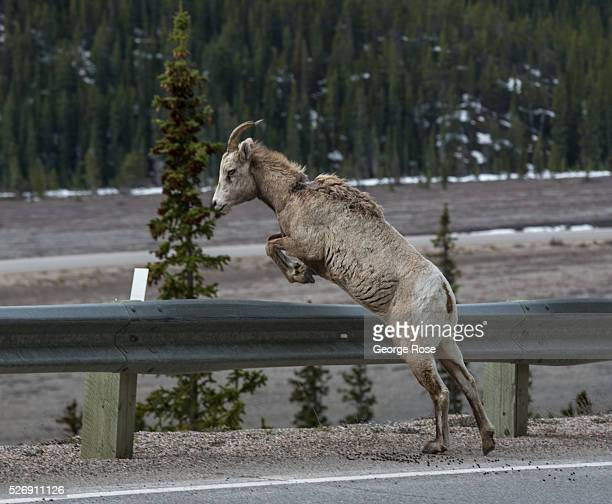 A bighorn sheep jumps a highway guardrail along the Icefields Parkway between Lake Louise and Jasper on April 25 2016 near Jasper Alberta Canada...