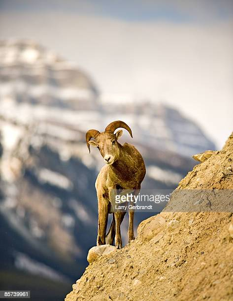 bighorn sheep near banff - file:bighorn,_grand_canyon.jpg stock pictures, royalty-free photos & images