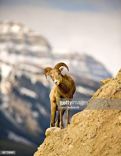 Bighorn Sheep Near Banff