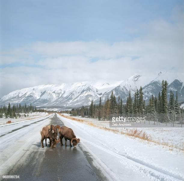 Bighorn Sheep on Canadian wilderness highway