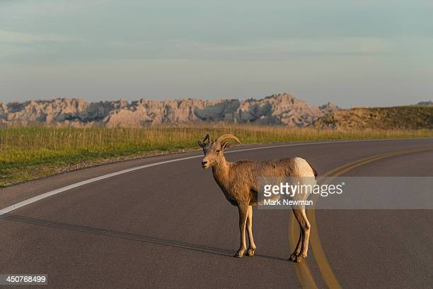 bighorn sheep on cliffs - file:bighorn,_grand_canyon.jpg stock pictures, royalty-free photos & images