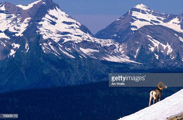bighorn sheep (ovis canadensis) on snowy incline, glacier np, montana - file:bighorn,_grand_canyon.jpg stock pictures, royalty-free photos & images