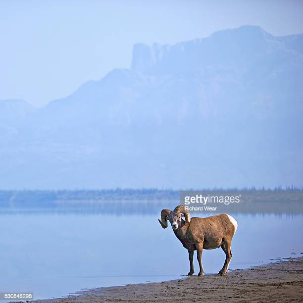 bighorn sheep (ovis canadensis) on water's edge in banff national park, alberta, canada - file:bighorn,_grand_canyon.jpg stock pictures, royalty-free photos & images