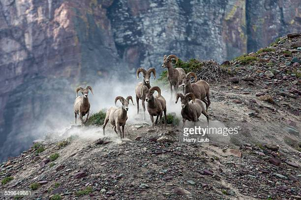 bighorn sheep -ovis canadensis-, glacier national park, montana, united states - harry herd stock pictures, royalty-free photos & images