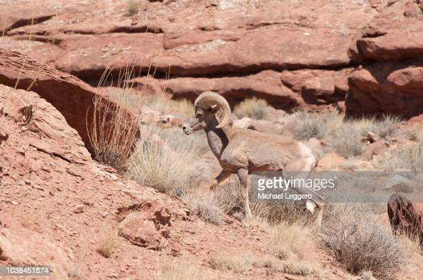 bighorn sheep - file:bighorn,_grand_canyon.jpg stock pictures, royalty-free photos & images