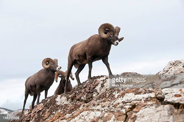 bighorn sheep. - file:bighorn,_grand_canyon.jpg stock pictures, royalty-free photos & images