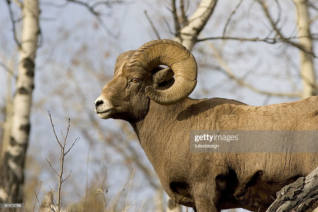 Bighorn sheep : Stock Photo